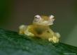 Glass Frog.jpg
