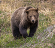 Grizzly Bear-1212-d.jpg