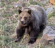 Grizzly Bear-611.jpg