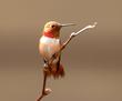 Hummingbird (Rufous).jpg