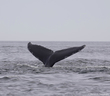 Humpback Whale Tail.jpg