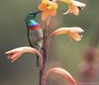 Kirstenbosch Sunbird.jpg