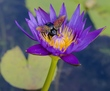 Lotus Flower Bee.jpg