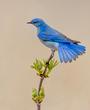 Mountain Bluebird 2020.jpg