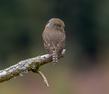 Northern Pygmy Owl Perch.jpg