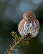 Northern Pygmy Owl.jpg