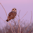Pink Sunset Owl.jpg
