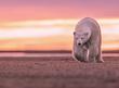 Polar Bear Sunset.jpg