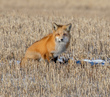 Prairie Red Fox 1.jpg