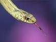 Puget Sound Hyperxanthic Garter Snake.jpg