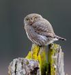 Pygmy Owl 2020-272-6.jpg