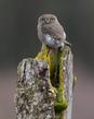 Pygmy Owl 2020-300-6.jpg