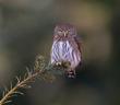 Pygmy Owl 2020-50-2-denoise.jpg