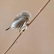 Pygmy Owl 2020.jpg