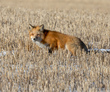 Red Fox on the Prairie 2.jpg