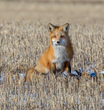 Red Fox on the Prairie.jpg