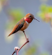 Rufous Humminbird-289.jpg