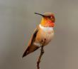 Rufous Humminbird-315.jpg
