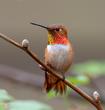 Rufous Hummingbird Male.jpg