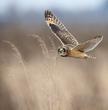 Shortie Owl.jpg