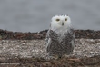 Snowy Owl Brief Visit.jpg