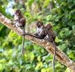 Three Baby Monkeys.jpg