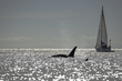 Westcoast Whale.jpg