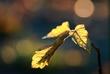 backlit leaf.jpg