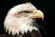 bald eagle1.jpg