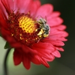 bee and gerbera.jpg