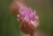 fine art chive flower.jpg