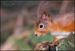 Red Squirrel_a.jpg