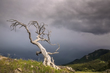 Burmis Tree 8321.jpg