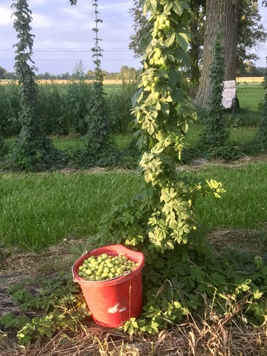 U-Pick Wet Whole Cone Hops - seasonal - ten dollars per lb for most varieties.jpg