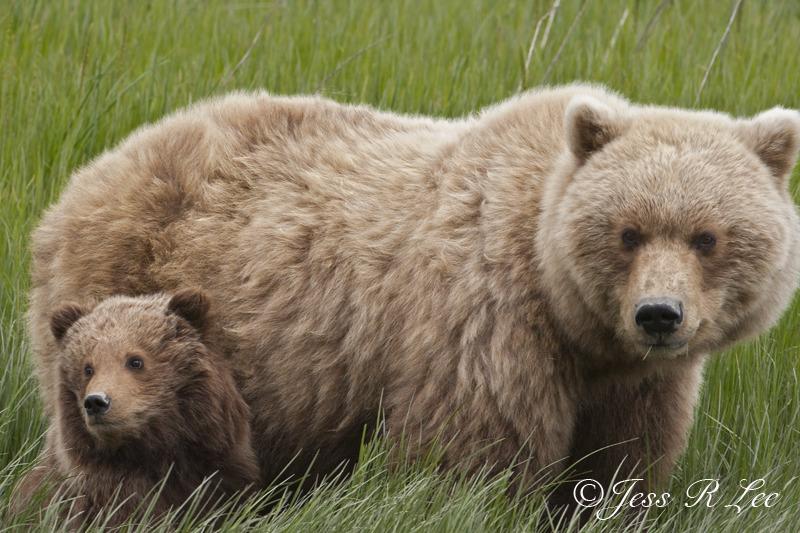 Alaska Brown Bear Sow and Cub Photo_LEE9453-4c49a.jpg :: A photo of a Alaska coastal brown bear sow and cub.
