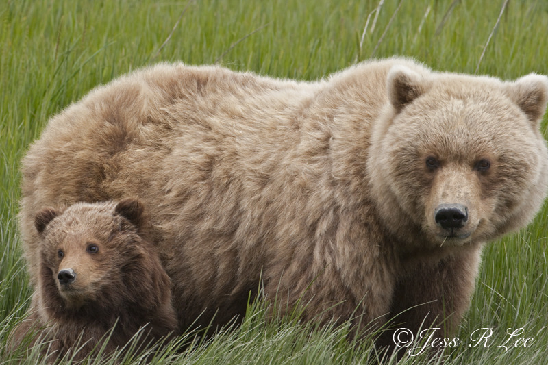 Alaska Brown Bear Grizzly and cub