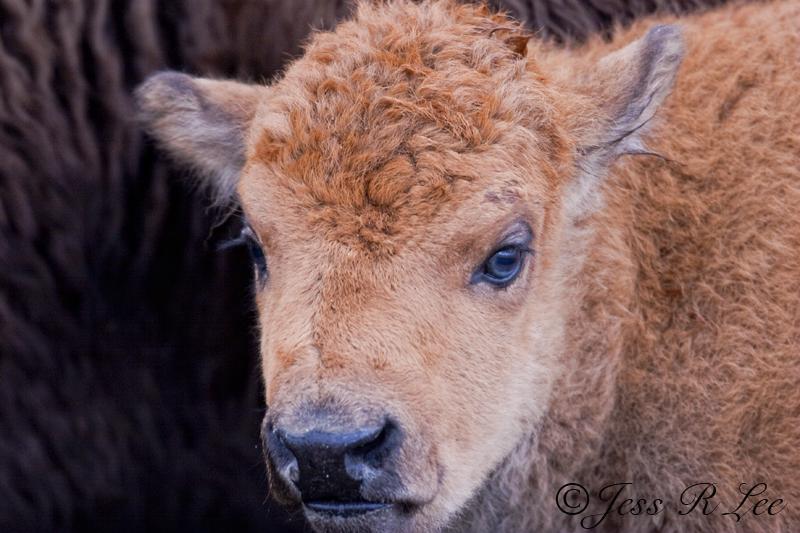 Bison Calf Photo 050504_062727_1-ecbc0.jpg :: A close up photo of a bison calf.