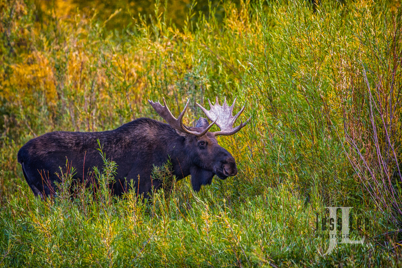 Bull Moose Photo_LEE3821_2279.jpg :: A photo of a bull moose surrounded by willows.