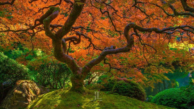 Flaming-japaneese-maple-tree-0534.jpg :: Limited edition fine art collector photography prints of Peter Lik style Japeneese Maple trees for sale