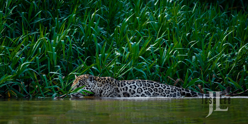 Jaguar-(1).jpg :: Jaguar cats hunting in Patagona