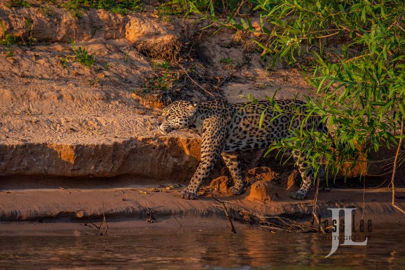 Jaguar-1809(1).jpg :: Jaguar cats hunting in Patagona