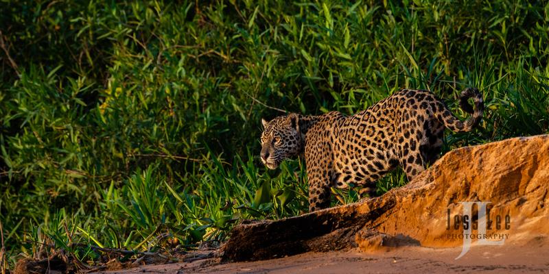 Jaguar-1882(1).jpg :: Jaguar cats hunting in Patagona