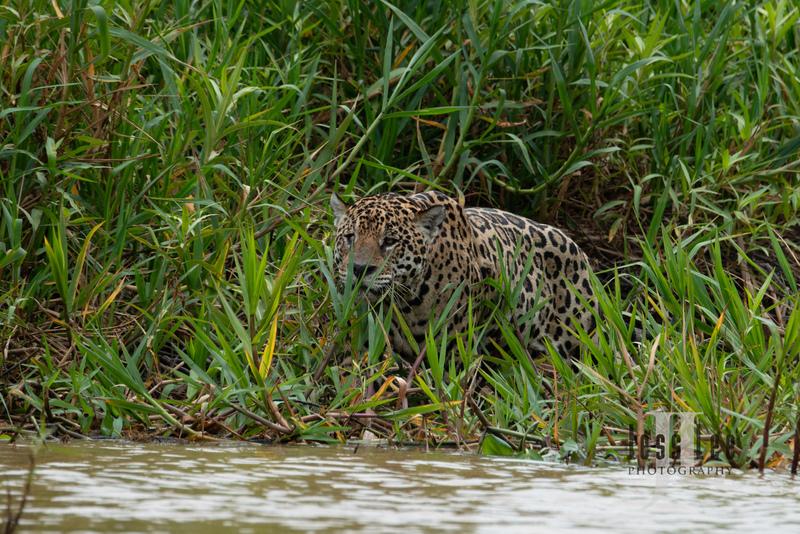 Jaguar-2-2(1).jpg :: Jaguar cats hunting in Patagona