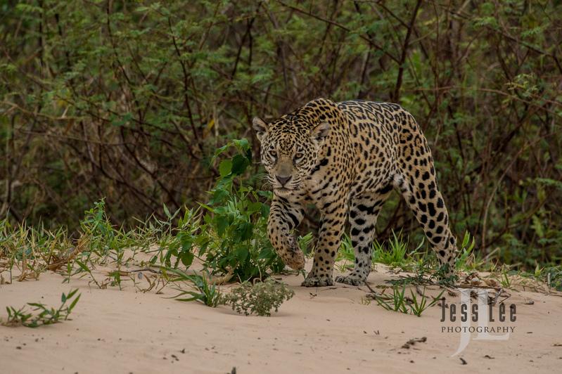 Jaguar-2-6(1).jpg :: Jaguar cats hunting in Patagona