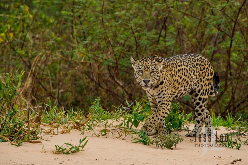 Jaguar-2-7(1).jpg :: Jaguar cats hunting in Patagona
