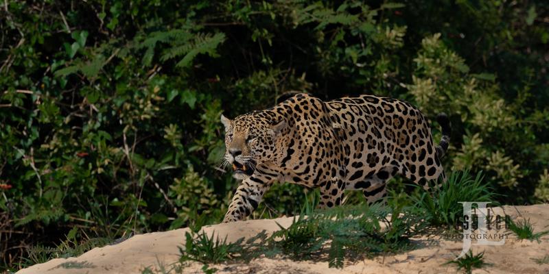 Jaguar-2311(1).jpg :: Jaguar cats hunting in Patagona