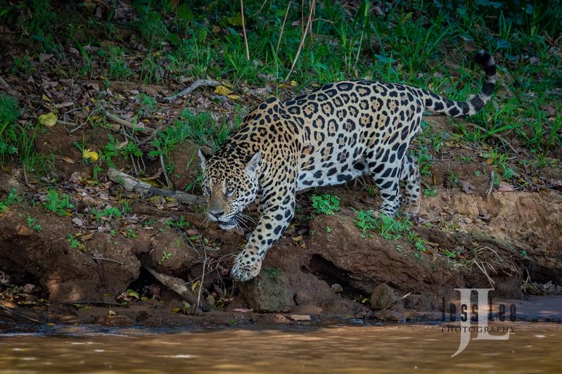 Jaguar-2382(1).jpg :: Jaguar cats hunting in Patagona