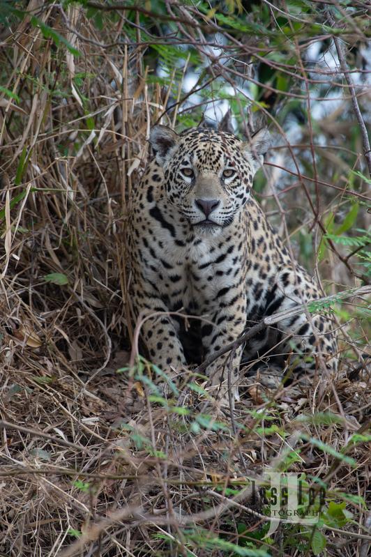 Jaguar-3162(1).jpg :: Jaguar cats hunting in Patagona