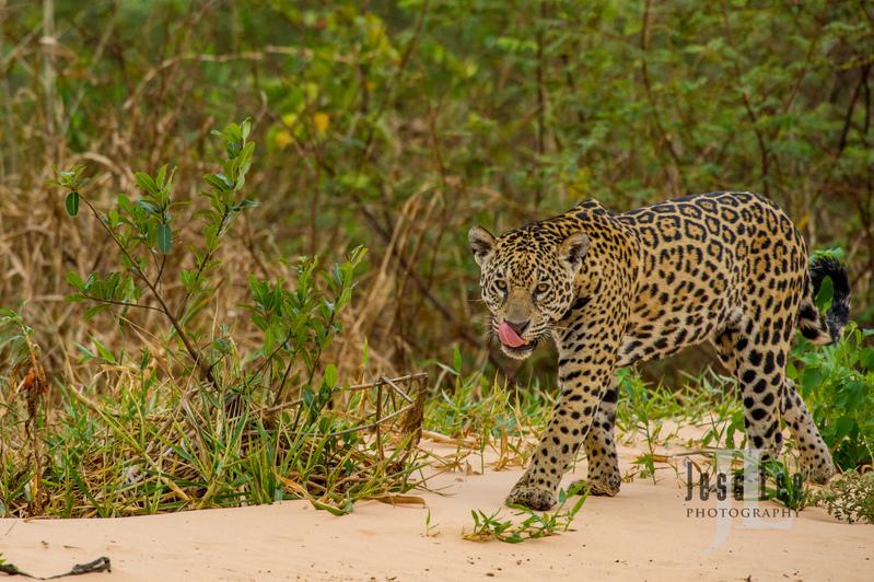 Jaguar-3262(1).jpg :: Jaguar cats hunting in Patagona
