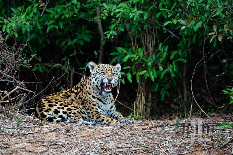 Jaguar-3357(1).jpg :: Jaguar cats hunting in Patagona